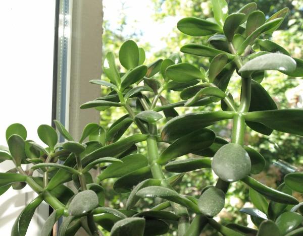 Ogl±dasz fotografie z Mojego Ogrodu Grubosz drzewiasty