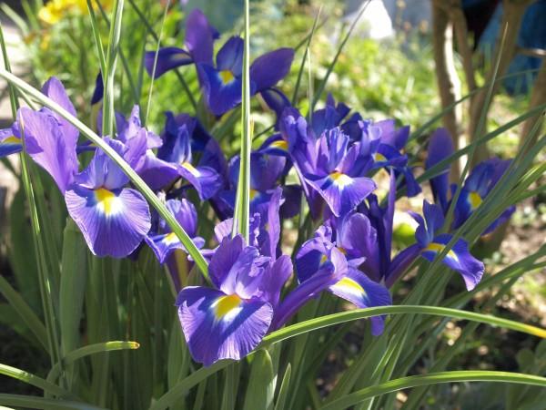 Ogl±dasz fotografie z Mojego Ogrodu Irysy