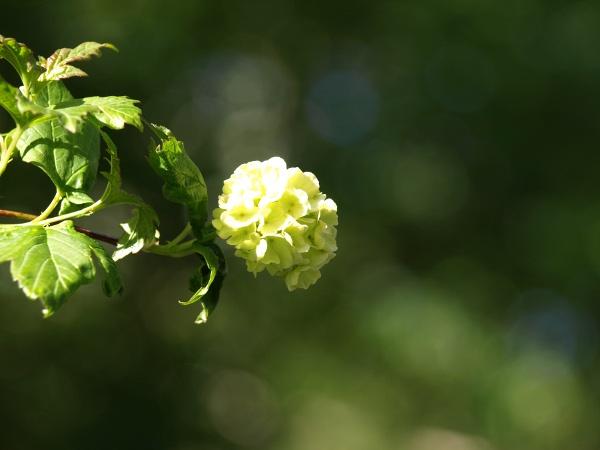 Ogl±dasz fotografie z Mojego Ogrodu Kalina