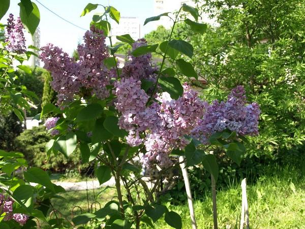 Ogl±dasz fotografie z Mojego Ogrodu Lilaki