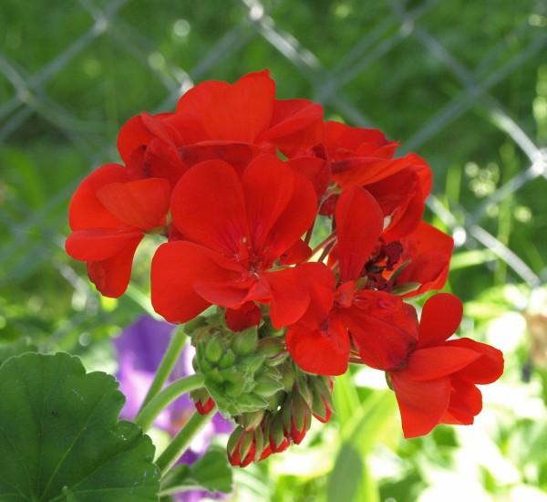 Ogl�dasz fotografie z Mojego Ogrodu Pelargonie